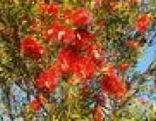 arbustos poda bottlebrush