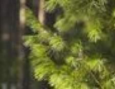 Tolerantes à sombra vs. Árvores coníferas intolerantes à sombra