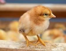 Começar um negócio de ovo de galinha, que
