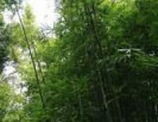 Cuidar de plantas de bambu interior