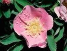 Os melhores arbustos de rosa para a zona minnesota 4