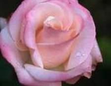 Os melhores rosas para plantar no arizona
