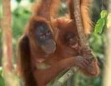 Os efeitos da depleção de floresta tropical em animais