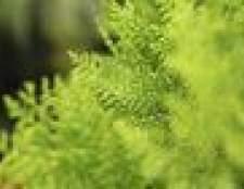 Tipos de arbustos arborvitae