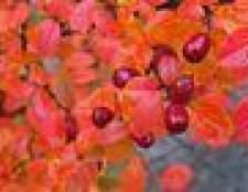 Tipos de arbustos barberry