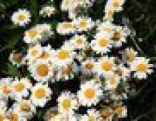 Que flores e plantas voltar todos os anos?