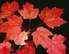 O que é uma árvore de bordo vermelho?