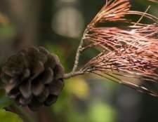 Que tipo de folhas que a árvore de cedro tem?
