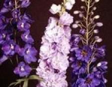 Quando delphiniums florescer?