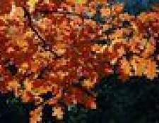 Quando carvalhos perdem suas folhas?