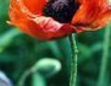 Ao fazer da flor das papoilas?