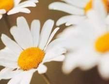 Branco com o centro amarelo flores perenes